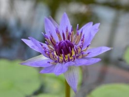 Water lily by osam-devet