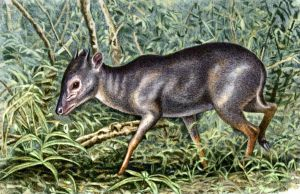 Blue Duiker by WillemSvdMerwe