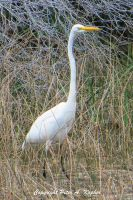 Great White Heron copyright by peterkopher