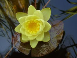 Saw The Water Lily Bloom by Pentacle5