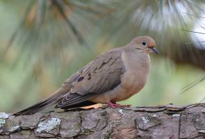 Dove 4-11-13 by Tailgun2009