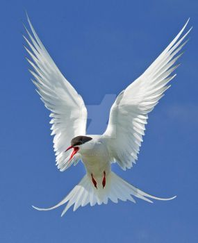 Out of the blue - arctic tern by Jamie-MacArthur