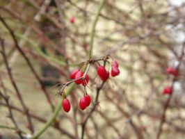Winter Berries 2 by WalkingFatJoke