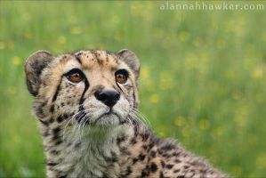 Cheetah 10 by Alannah-Hawker