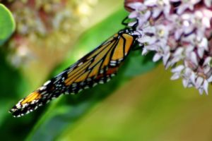 Monarch on Milkweed by S-H-Photography