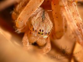 Orb Weaver Eyes by TheFunnySpider