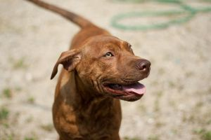 Country Pit bull 4 by SamuraiEnix
