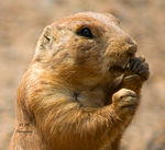 Prairie Dog by JamminJo