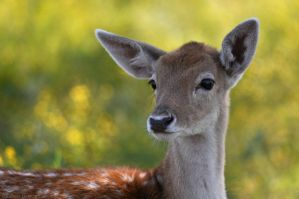 Fallow Deer 3879 by robbobert