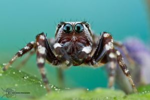 Peppered Jumping Spider - Pelegrina galathea by ColinHuttonPhoto