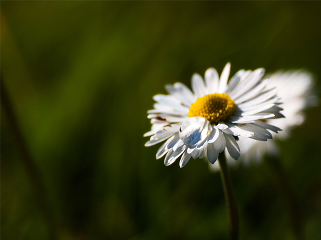 Drop on daisy by Katari01