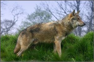 Wolf Side Profile by CoupeKid