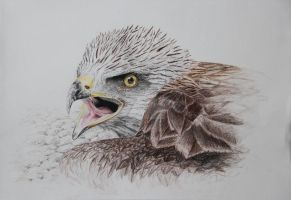 black kite/coloured pencils by cola93