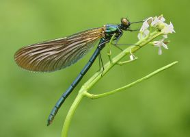 Demoiselle 1 by AngiWallace