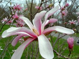 Pink Magnolia by jewels4665