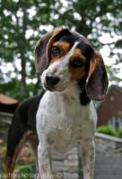 Beagle by EquusPhoto