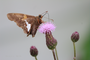 Silver-spotted Skipper 8 by Gerryanimator