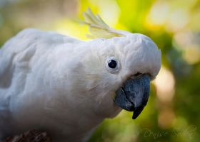Sun Kissed Cockatoo by DeniseSoden