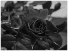 Black Rose by smerfeo
