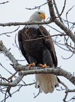 The Second In My Bald Eagle Series by Merhlin