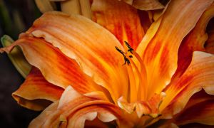 Evening Lilly by drhine