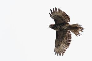Red Tail Hawk in Flight by bovey-photo