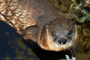 The Otter by Sagittor