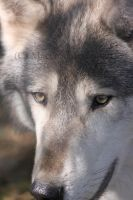 Hello Wolf by MTaylorPhotography