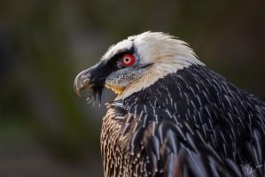 Bearded Vulture by ChristopherMarx