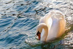 Swan II by maticgolob