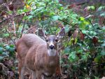 Looking for bambi by davecbend