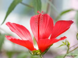 Japanese Hibiscus by UncleTerry