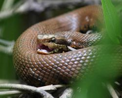 Western Cottonmouth 02 by JAHarrell