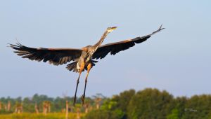 Great Blue Heron Climb Out by Grouper