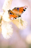 Peacock butterfly by radol