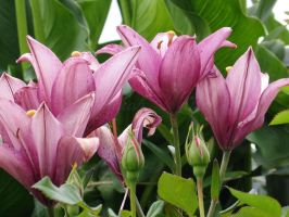Pink Lillies in a Row by DWALKER1047