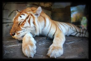 Golden tabby Bengal tiger by charfade