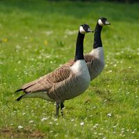 Two wild geese. by LubelleCreativeSpark