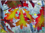 Oak Colors 1 by Mogrianne