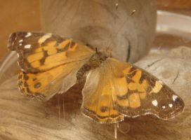 Painted Lady Butterfly 2 by FantasyStock