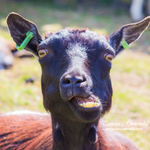 Epic goat face 2 by TammyPhotography
