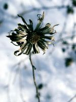 .winter.flower. by witchlady750