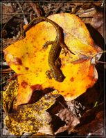 Two-lined Salamander 40D002845 by Cristian-M