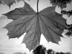 Black and White Leaf by FPS-Princess