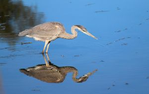 Who's the man, a heron's reflection. by sweatangel