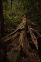 Fallen Redwood in Muir Woods by Driller