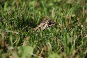 Frog in the grass by BenoitAubry
