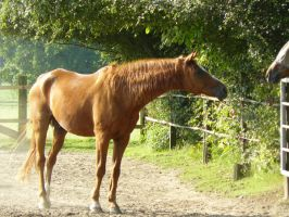 old chestnut gelding looking to a mare by Nexu4