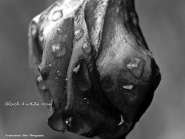 black and white rose by Just4guitar