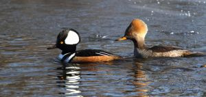 Pair of Hooded Mergansers by natureguy
